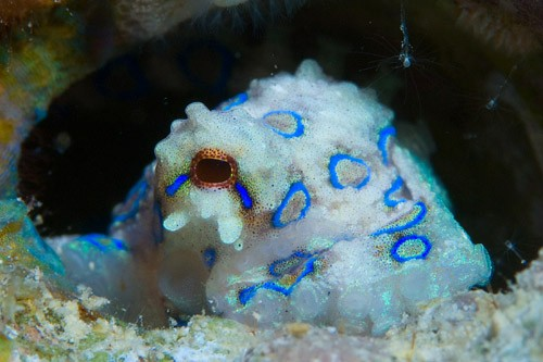 Blue Ring Octopus at Kapalai House Reef