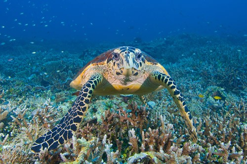 Turtle Sabah