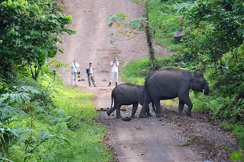 Danum Valley Safari - Pygmy Elephant